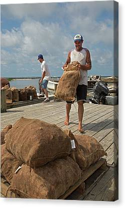 Unloading Harvested Oysters Canvas Print