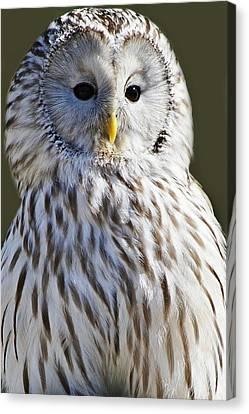 Ural Owl Canvas Print by Paulette Thomas