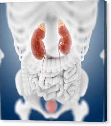 Urinary System, Artwork Canvas Print by Science Photo Library