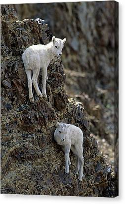 Usa, Alaska, Dall Sheep, Dall Lamb Canvas Print