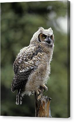 Gerry Canvas Print - Usa, Alaska, Juvenile Great Horned Owl by Gerry Reynolds