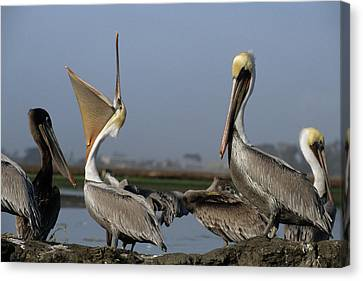 Usa, California, Brown Pelicans Canvas Print by Gerry Reynolds