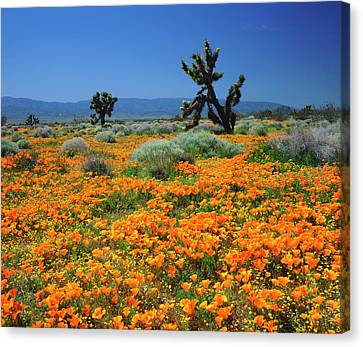 Usa, California, California Poppies Canvas Print