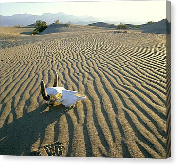 Openair Canvas Print - Usa, California, Death Valley, Cow by Tips Images