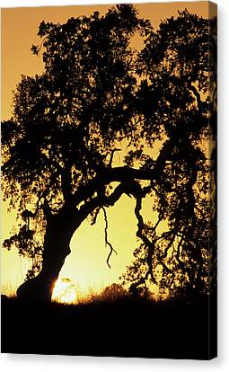 Usa, California, Oak Tree, Sunset Canvas Print by Gerry Reynolds