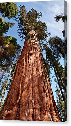 Giant Sequoia Canvas Print - Usa, California, Sequoia National Park by Ann Collins