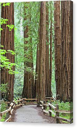 Usa, California Trail Through Muir Canvas Print by Jaynes Gallery