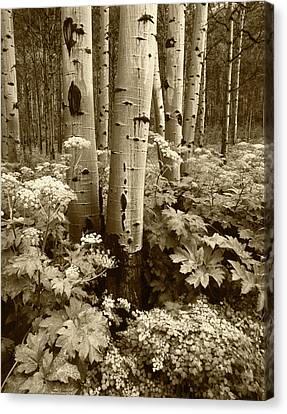 Usa, Colorado, Aspen Trees (populus Canvas Print