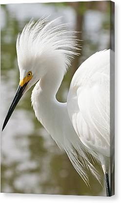 Usa, Florida Snowy Egret (egretta Thula Canvas Print by Michael Defreitas