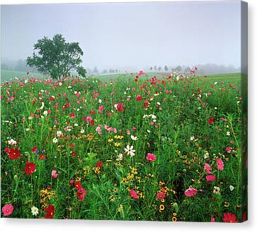 Usa, Kentucky, Union, Field Of Cosmos Canvas Print
