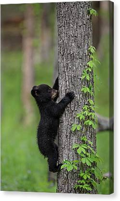 Usa, Tennessee Black Bear Cub Climbing Canvas Print