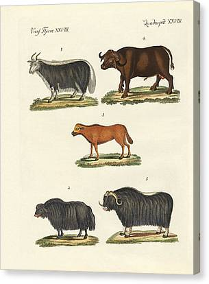 Various Kinds Of Oxen Canvas Print by Splendid Art Prints