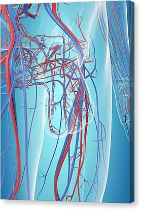 Vascular System Of The Male Pelvis Canvas Print by Sciepro