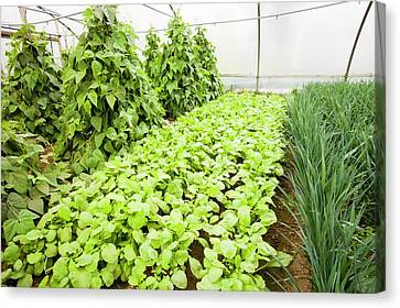 Vegetables Growing In Polytunnels Canvas Print by Ashley Cooper