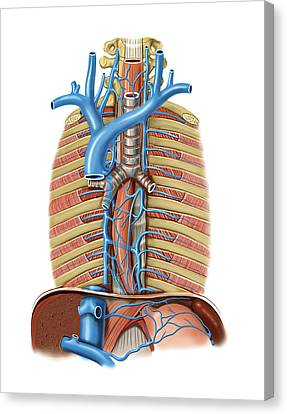 Venous System Of The Oesophagus Canvas Print by Asklepios Medical Atlas