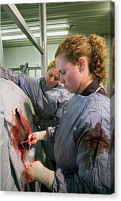Veterinarians Operating On A Cow Canvas Print by Jim West