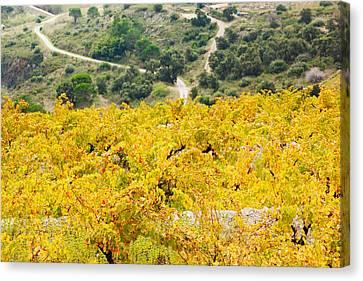 Vineyards, Collioure, Vermillion Coast Canvas Print
