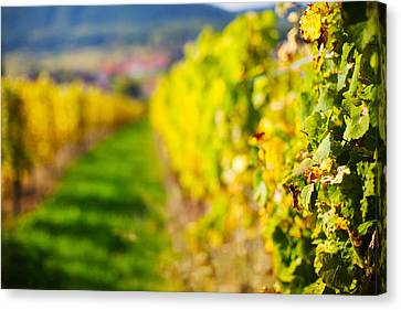 Rhin Canvas Print - Vineyards In Autumn, Mittelbergheim by Panoramic Images