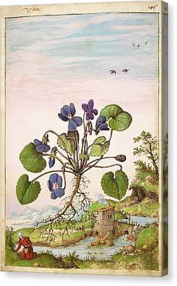 Violet (viola Odorata) Canvas Print by British Library
