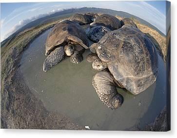 Volcan Alcedo Giant Tortoises Wallowing Canvas Print by Tui De Roy