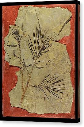 Voltzia Conifer Fossil Canvas Print