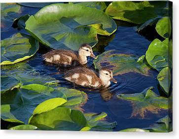 Wa, Juanita Bay Wetland, Mallard Ducks Canvas Print by Jamie and Judy Wild