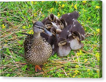Ducklings Canvas Print - Wa, Juanita Bay Wetland, Mallard Female by Jamie and Judy Wild