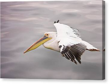 Flying White Pelicans Canvas Print - Walvis Bay, Namibia by Janet Muir