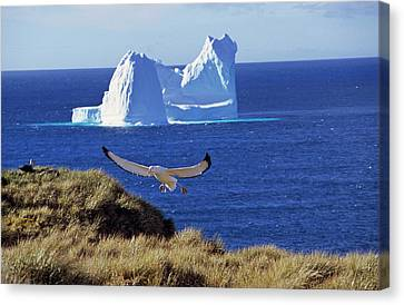 Wandering Albatross (diomendea Exulans Canvas Print by Martin Zwick