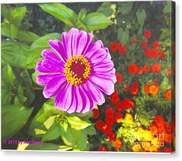 Warm Pink Zinnia Canvas Print by Rod Ismay