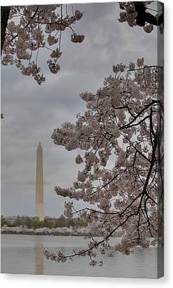 Washington Monument - Cherry Blossoms - Washington Dc - 011315 Canvas Print by DC Photographer