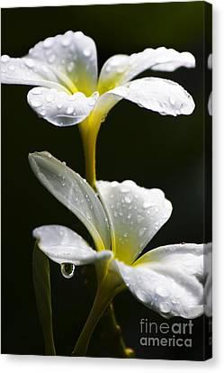 Water Droplet On Frangipani Flower Canvas Print