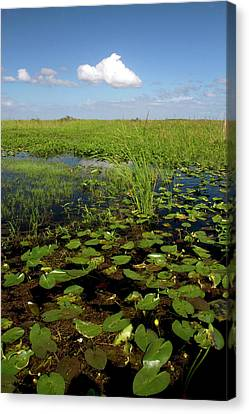 Water Lilies And Sawgrass Canvas Print by David R. Frazier