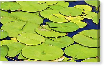 Water Lilly Canvas Print by David Letts