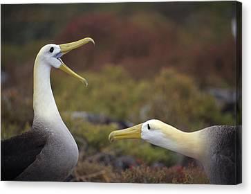 Waved Albatross Courtship Display Canvas Print by Tui De Roy