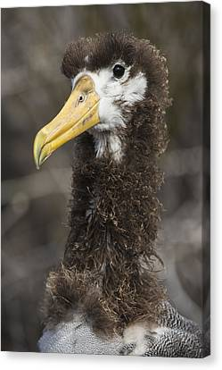 Waved Albatross Molting Juvenile Canvas Print