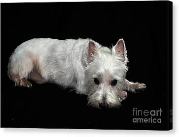 West Highland Terrier I Canvas Print by Catherine Reusch Daley