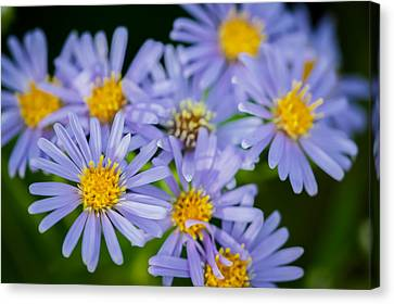 Western Daisies Asters Glacier National Park  Canvas Print