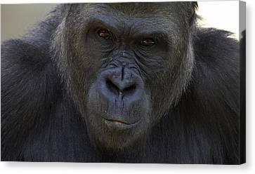 Gorilla Canvas Print - Western Lowland Gorilla Portrait by San Diego Zoo