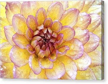 Wet Dahlia Canvas Print by Paul W Faust -  Impressions of Light