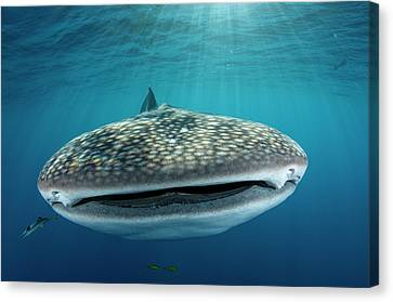 Whale Shark, Cenderawasih Bay, West Canvas Print by Pete Oxford