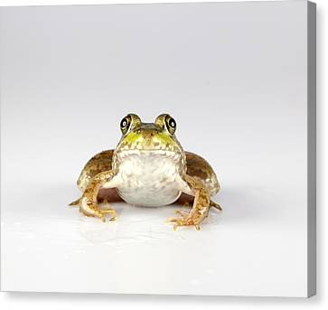 Canvas Print featuring the photograph What You Looking At? by John Crothers