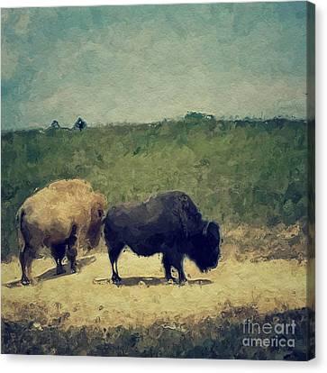 White And Black Buffalo Canvas Print