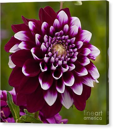 White And Purple Dahlia Canvas Print by Mandy Judson
