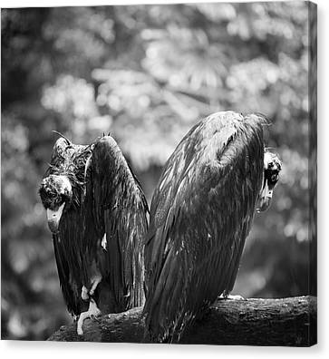 White-backed Vultures In The Rain Canvas Print by Pan Xunbin