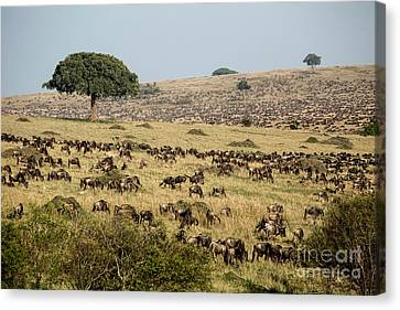 White-bearded Wildebeest Migration Canvas Print by Greg Dimijian