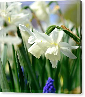 Farm Fields Canvas Print - White Daffodil  by Tommytechno Sweden