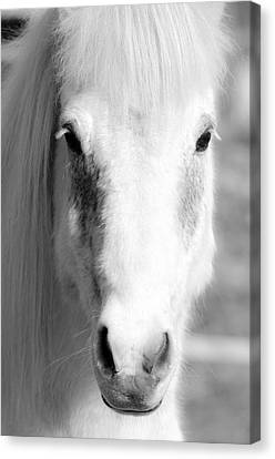 White Horse  Canvas Print by Tommytechno Sweden