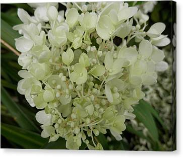White Hydrangea Canvas Print by Pema Hou