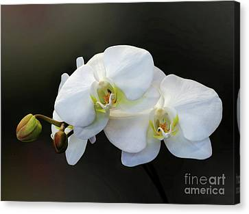 White Orchid - Doritaenopsis Orchid Canvas Print by Kaye Menner